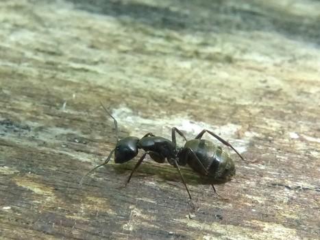 Photo de Formicidae : Fourmi noire gâte-bois - Camponotus pennsylvanicus - Black carpenter ant - Fourmi charpentière | Fauna Free Pics - Public Domain - Photos gratuites d'animaux | Scoop.it
