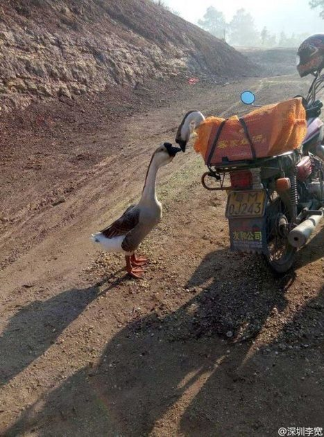 The Moment These Geese Said Goodbye Will Break Your Heart | Nature Animals humankind | Scoop.it