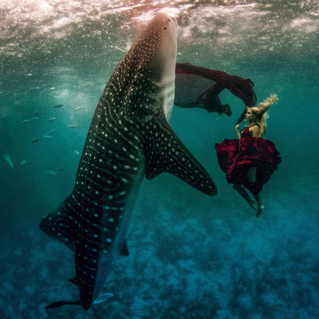 Models swim with whale sharks in an underwater fashion shoot - Telegraph | DiverSync | Scoop.it