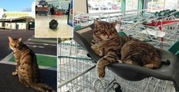 Brutus Is The Morrisons Supermarket Cat In The UK - He's Now Globally Famous | Catnip Daily | Scoop.it