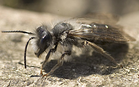 L'abeille ne donne pas le bourdon à STB Matériaux, à Hamel, mais un grand prix   EntomoNews   Scoop.it