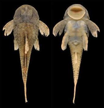 Tiny New Catfish Species: Freshwater Species of... | Biodiversity protection | Scoop.it