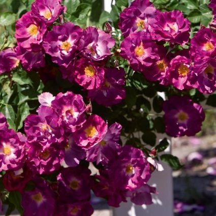 Stormy Weather™ Climbing Rose | Springhill Nursery | Scoop.it