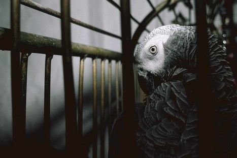 African grey #parrot numbers plummet by 99 per cent in #Ghana #extinction in the making | Messenger for mother Earth | Scoop.it
