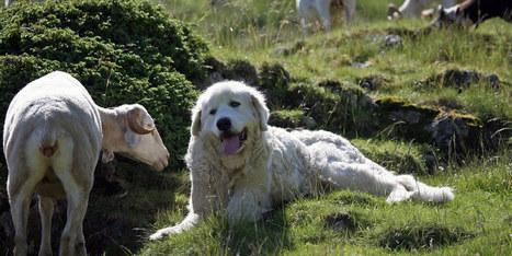 Une randonneuse grièvement blessée par deux chiens dans le Vercors | Loup | Scoop.it