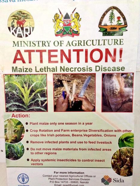 Tweet from @CristobalUauy: have a look at the local newspapers in Kenya last week (2014) | Plants and Microbes | Scoop.it
