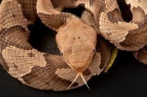 Vanderbilt expert offers advice on snake bites | VUMC Reporter ... | Alexa SHdez | Scoop.it