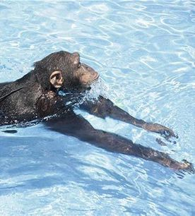 Aquatic Apes Love to Swim: Researchers - Earthweek - A Diary of the Planet | Monkeys and Apes | Scoop.it