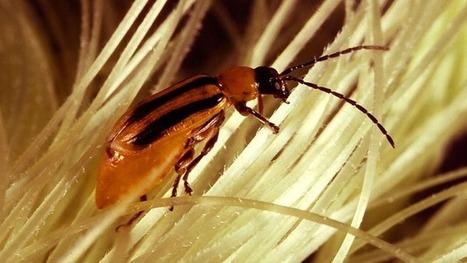 La naturaleza se rebela contra el gigante de los cultivos transgénicos Monsanto | Ecocosas | Asociación Manekenk | Scoop.it