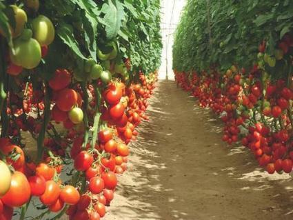 L'agriculture sous serres s'impose progressivement au Kenya | Questions de développement ... | Scoop.it