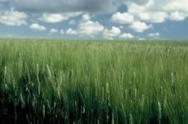 INRA - assemblage de la séquence du génome complet du blé accessible sur une plateforme Inra | Veille Scientifique Agroalimentaire - Agronomie | Scoop.it