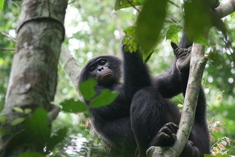 Bonobo: ses mythes et réalités ☺ Couleurs d'Aurore | My topics | Scoop.it