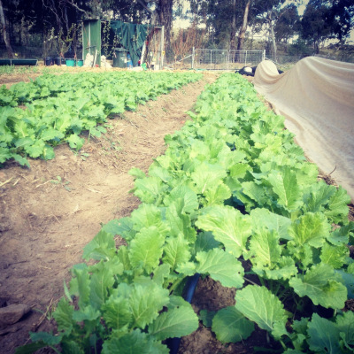 Cima di Rapa « Milkwood: permaculture farming and living | Permaculture News | Scoop.it