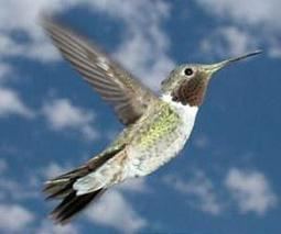 Hummingbirds make flying backward look easy | Sustain Our Earth | Scoop.it