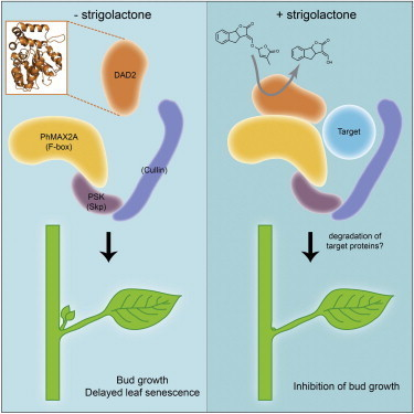 DAD2 Is an α/β Hydrolase likely to Be Involved in the Perception of the Plant Branching Hormone, Strigolactone | Plant hormones | Scoop.it