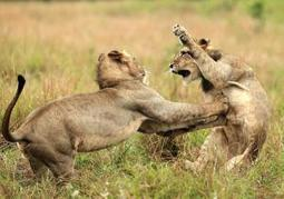 Little 'lion kings': Two cubs caught on camera play-fighting at Phinda Reserve ... - New York Daily News | Kruger & African Wildlife | Scoop.it