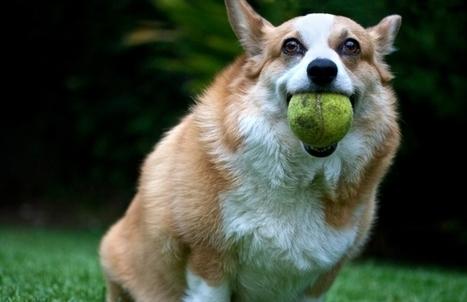 Arrêtez tout : on a trouvé un chien qui kiffe le tennis plus que vous ... | Mes coups de coeur | Scoop.it