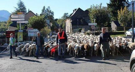Les brebis en estives à Aulon regagnent la ferme | Vallée d'Aure - Pyrénées | Scoop.it