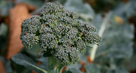 Broccoli compound protects rats from lethal radiation   Science News   Harvest news   Scoop.it