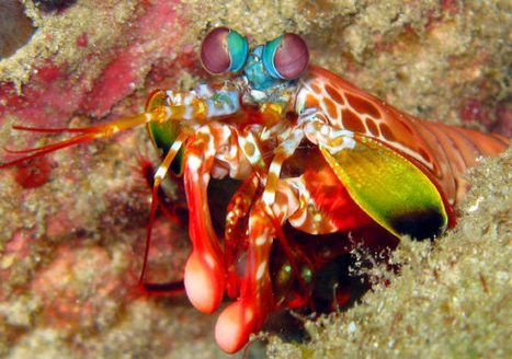 Study Offers Insights into Unique Color Vision of Mantis Shrimp | Art's Fingers | Scoop.it
