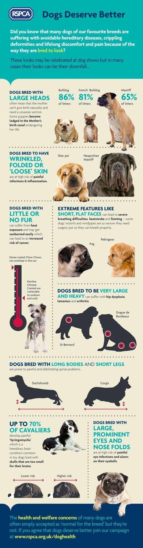 Brachycephale Hunde- Extremzuchten -Bewußtsein wecken | ʕ·͡ᴥ·ʔ Welpenkauf Informationen | Scoop.it