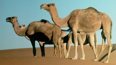 Camels could be deadly virus source | Complex Insight  - Understanding our world | Scoop.it