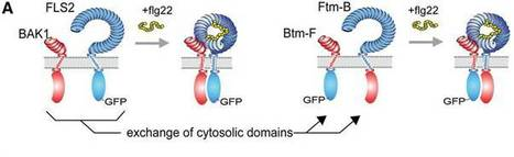 A Two-Hybrid-Receptor Assay Demonstrates Heteromer Formation as Switch-On for Plant Immune Receptors | Nature : beauty, beasts and curiosities... | Scoop.it