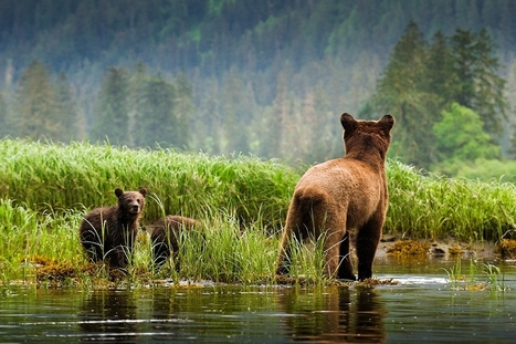Grizzly bear trophy hunt still legal in part of the Great Bear Rainforest | Canada and its politics | Scoop.it