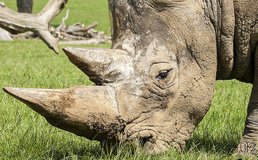 100 Rhinos Slaughtered In Less Than Two Months - Care2.com | Save our Rhino and all animals...this is what it looks like!!!!! | Scoop.it