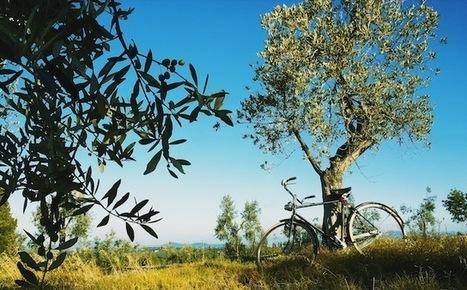 Exploring Olive Oil Culture In Tuscany | Italia Mia | Scoop.it