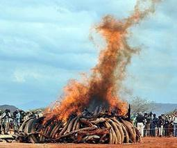 Philippines set to destroy ivory tusks | Sustain Our Earth | Scoop.it