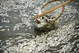 China's river of dead fish | Water | Scoop.it