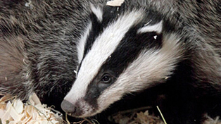 NI Badger Group Defends Badgers Against Bovine TB Claims | Down News | Bovine TB, badgers and cattle | Scoop.it