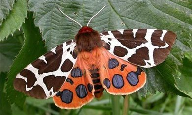 British moths in calamitous decline, major new study reveals | Wildlife and Environmental Conservation | Scoop.it