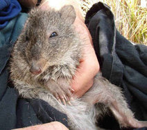 Gilbert's Potoroo - Department of Environment and Conservation   Gilbert's Potoroo Inquiry Sources   Scoop.it