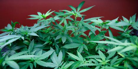 Cultiver du cannabis, un business en vogue en Europe - BFMTV.COM | Documentation Stupéfiante | Scoop.it