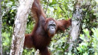 Rainforest Action Network to PepsiCo, General Mills: Stop killing orangutans - Los Angeles Times   inquiring   Scoop.it