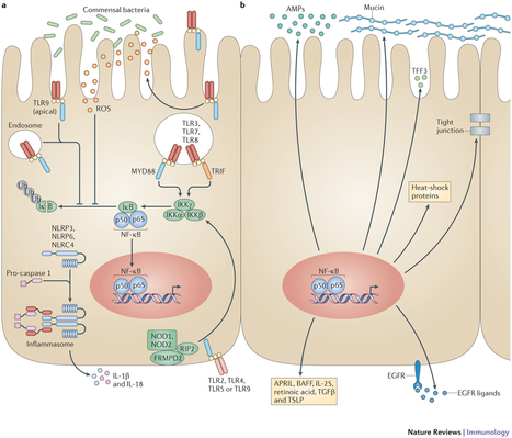 Intestinal epithelial cells: regulators of barrier function and immune homeostasis | Immunology for University Students | Scoop.it