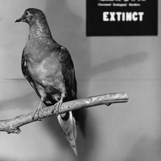 Long Now Foundation Plans De-extinction of the Passenger Pigeon   MIT Technology Review   Entrepreneurship, Innovation   Scoop.it