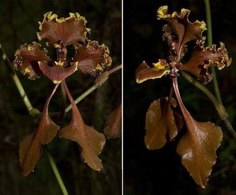 Nueva especie de orquídea encontrada en Colombia | Parque Nacional Natural | El Universal - Cartagena | Agua | Scoop.it