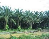 SE Asia palm oil problems could hit consumers worldwide | Sustain Our Earth | Scoop.it