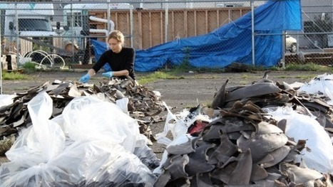 Australian scientist's CSI-style approach gets results in battle against illegal shark fin trade | All about water, the oceans, environmental issues | Scoop.it