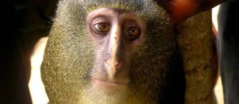 Une toute nouvelle espèce de singe identifiée | Merveilles - Marvels | Scoop.it