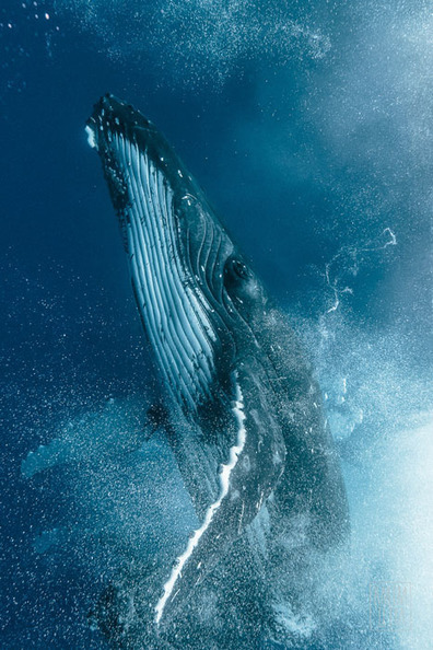 Photographer Captures a Humpback Whale Fight Up Close | Everything from Social Media to F1 to Photography to Anything Interesting | Scoop.it