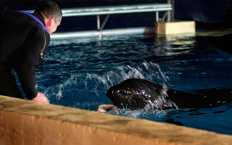Campaigners call for release of SeaWorld-owned wild-born killer whale in Tenerife | Plant Based Transitions | Scoop.it