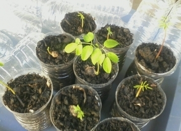 Happenings   The Golden Tree – Moringa Oleifera / Benzeolive Tree   Moringa - the Miracle Tree   Scoop.it