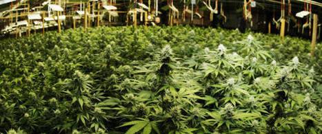 Is The DEA Finally Getting Marijuana Raids Right? | Cannabis Law Reform | Scoop.it