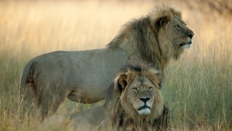 """Cecil the Lion Last Photo: """"He Was the Most Confident Lion You Ever Met"""" - Hollywood Reporter   Animal Empathy & Natural Pet Care   Scoop.it"""
