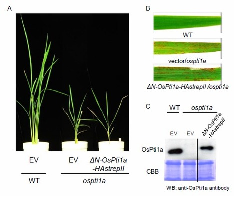 Plasma membrane localization is essential for OsPti1a-mediated negative regulation of immune signaling in rice | Biotic | Scoop.it