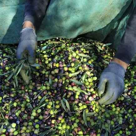 Association Santé Environnement France - Pénurie d'olives : à qui la faute ? | Association Santé Environnement France | Webnutrition Online | Scoop.it